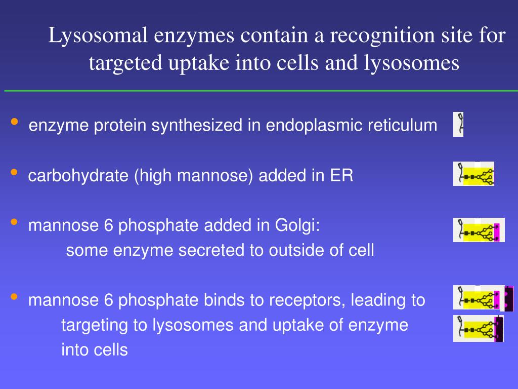 Lysosomal enzymes contain a recognition site for          targeted uptake into cells and lysosomes