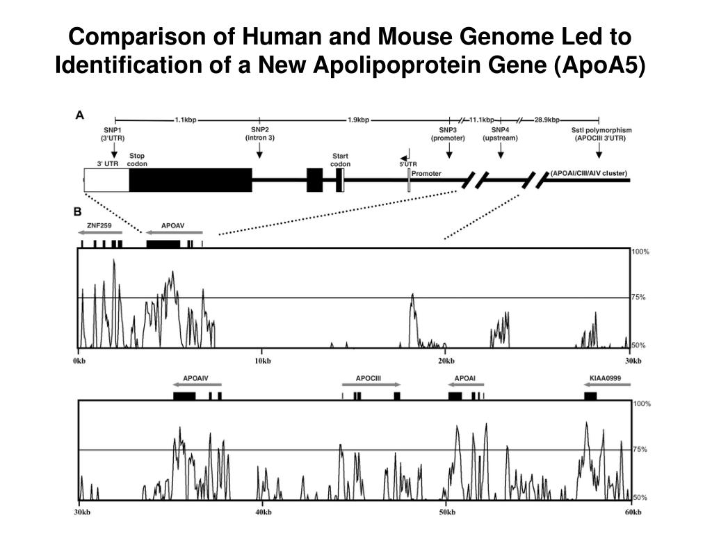 Comparison of Human and Mouse Genome Led to Identification of a New Apolipoprotein Gene (ApoA5)