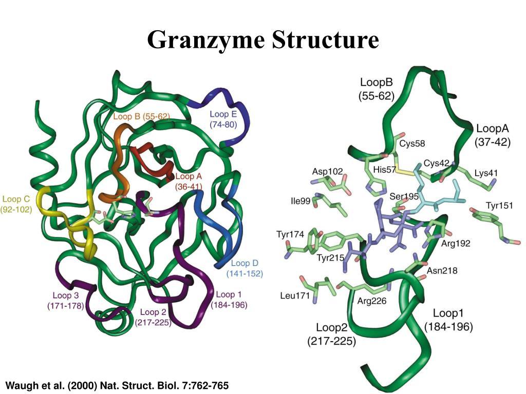Granzyme Structure