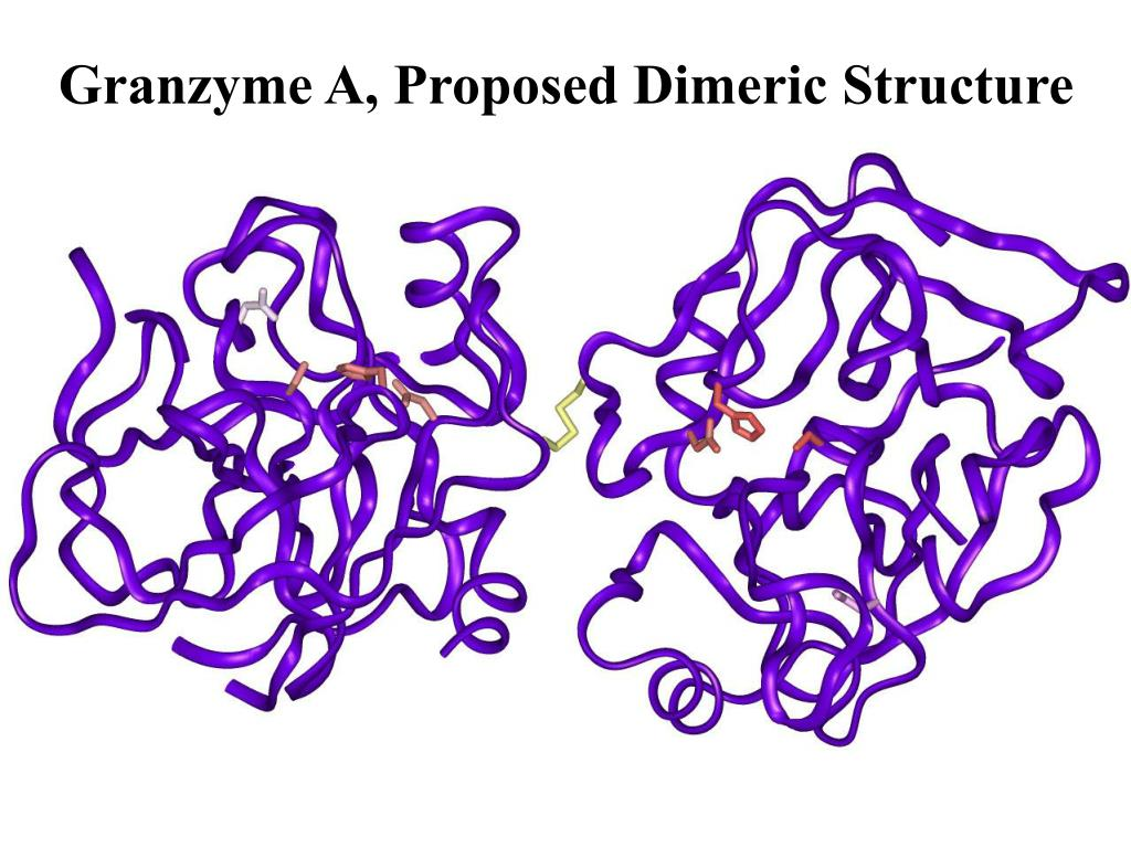 Granzyme A, Proposed Dimeric Structure