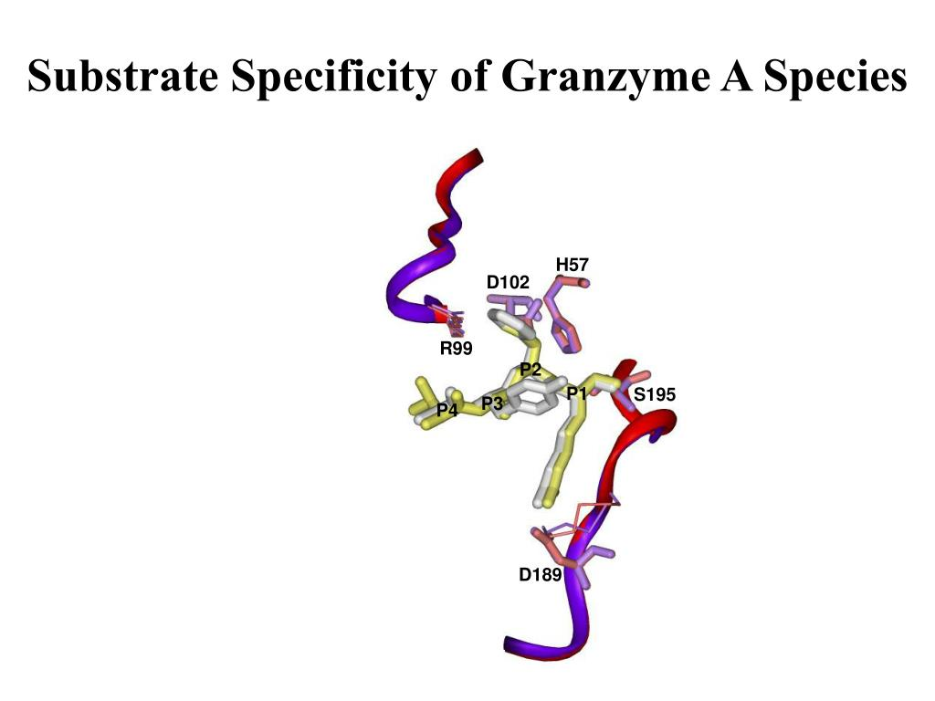 Substrate Specificity of Granzyme A Species