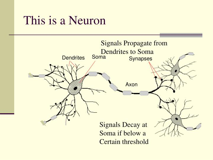 This is a neuron