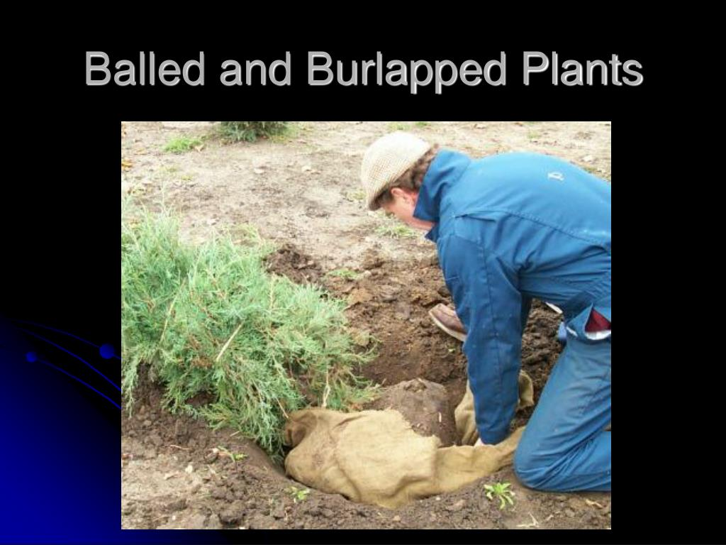 Balled and Burlapped Plants
