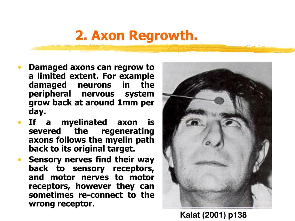 2. Axon Regrowth.