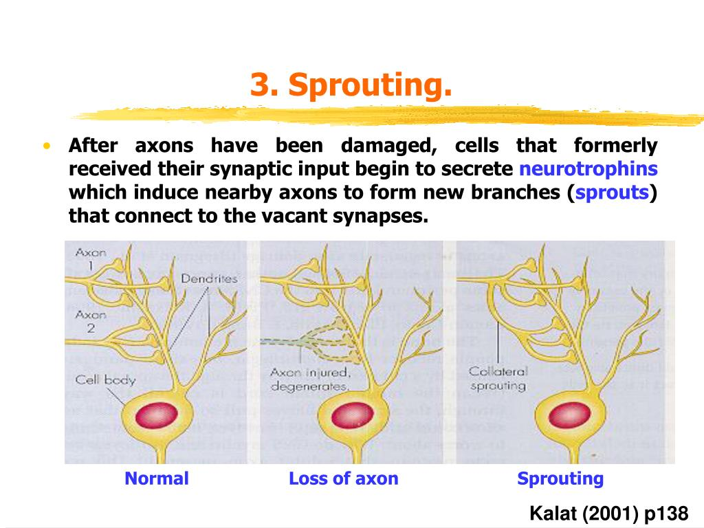 3. Sprouting.