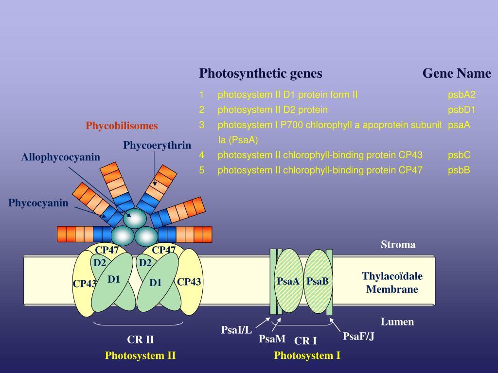 Photosynthetic genes       Gene Name