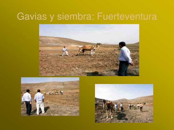 Gavias y siembra: Fuerteventura