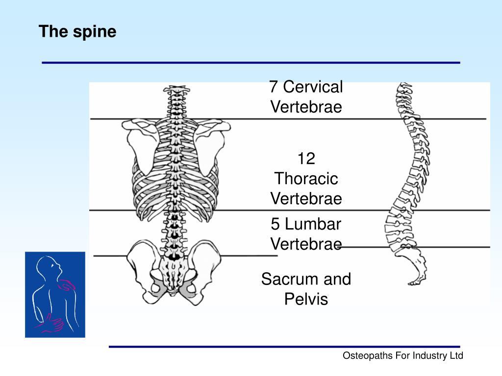 7 Cervical Vertebrae