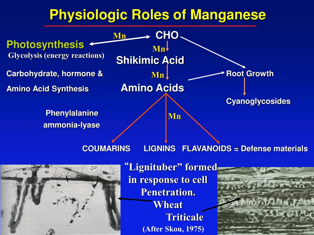 Physiologic Roles of Manganese