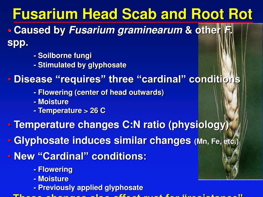 Fusarium Head Scab and Root Rot
