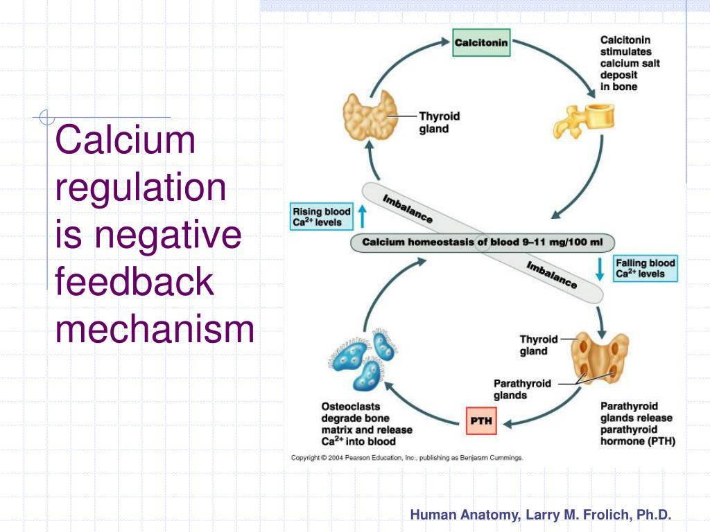 Calcium regulation is negative feedback mechanism
