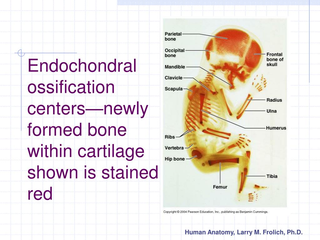 Endochondral ossification centers—newly formed bone within cartilage shown is stained red