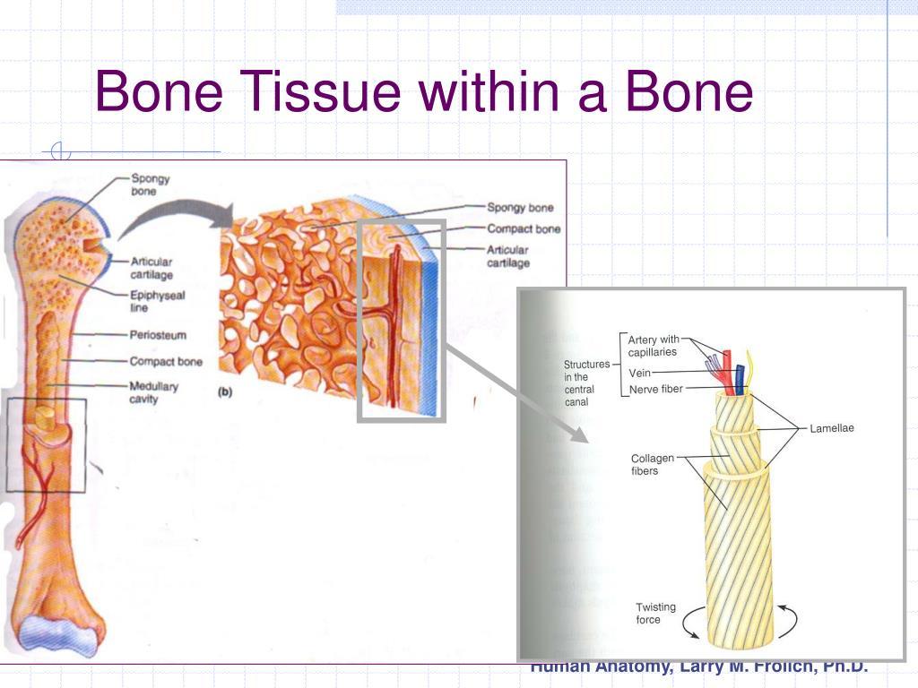 Bone Tissue within a Bone