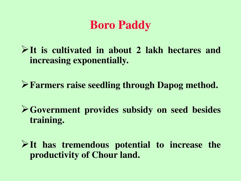 Boro Paddy