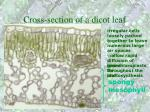 cross section of a dicot leaf53