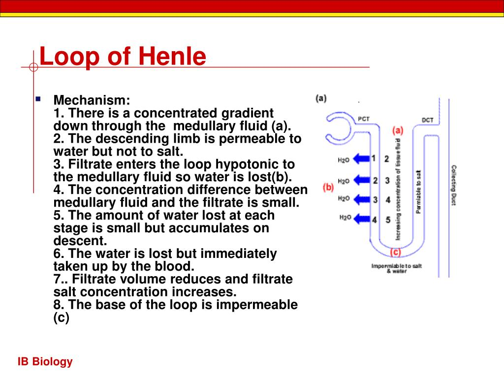 Loop of Henle
