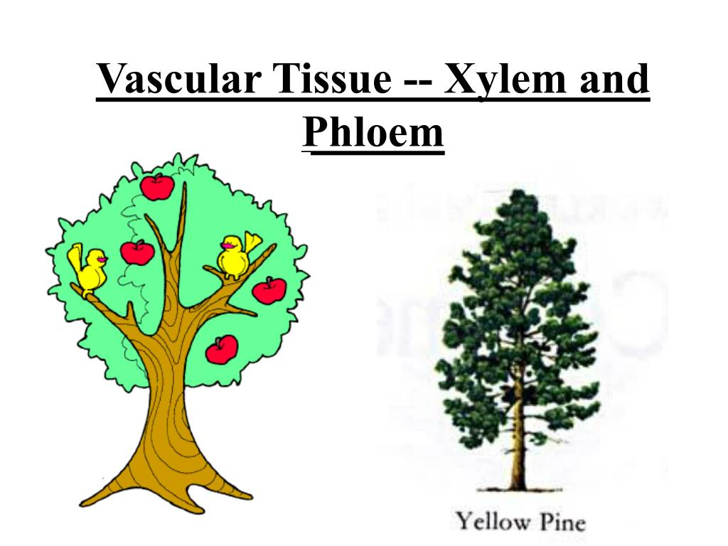 PPT - Vascular Tissue -- Xylem and Phloem PowerPoint ... Xylem Tissue Consists Of Cells That Include
