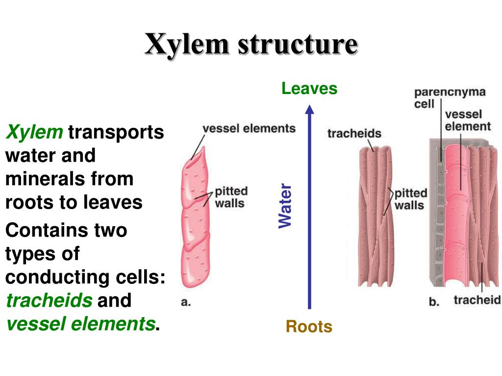 PPT - Vascular Tissue -- Xylem and Phloem PowerPoint ...