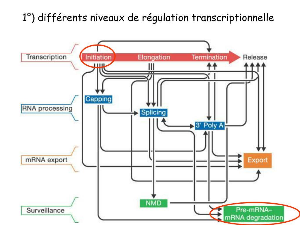 1°) différents niveaux de régulation transcriptionnelle