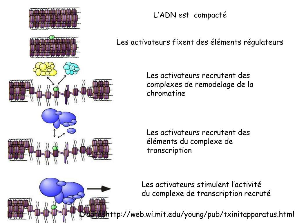 L'ADN est  compacté