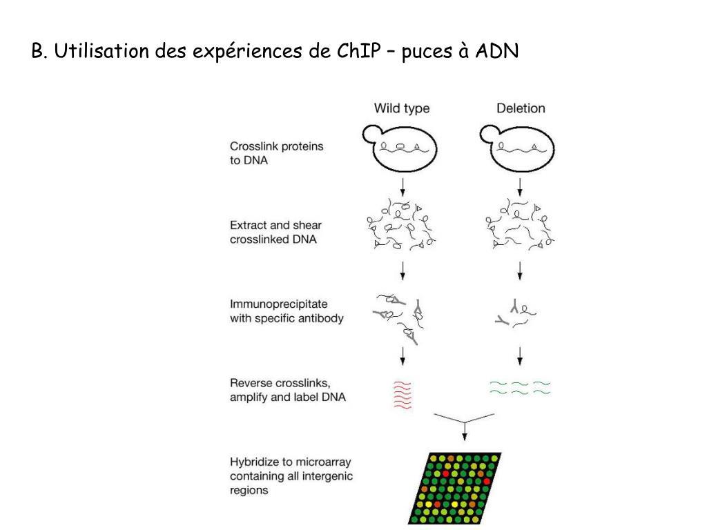 B. Utilisation des expériences de ChIP – puces à ADN