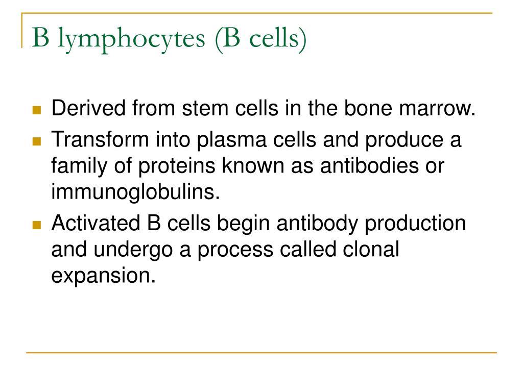 B lymphocytes (B cells)