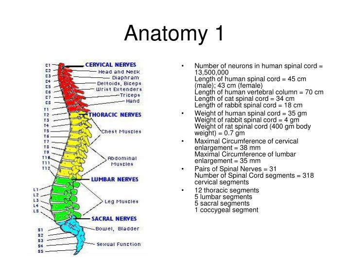 PPT - Spinal Injury PowerPoint Presentation - ID:388407