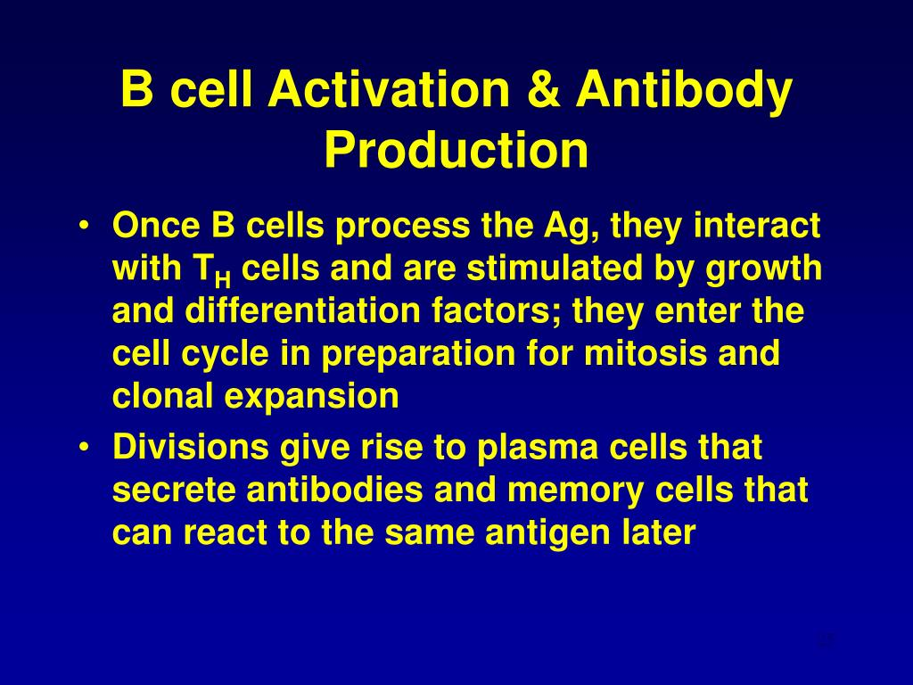 B cell Activation & Antibody Production