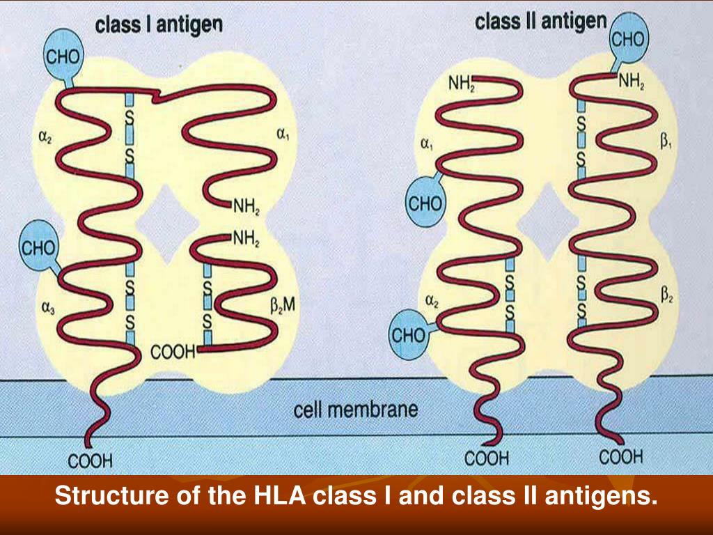 Structure of the HLA class I and class II antigens.