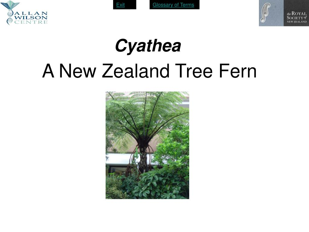 a new zealand tree fern l.