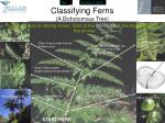 classifying ferns a dichotomous tree