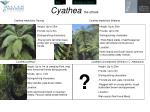 cyathea the others