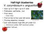 half high blueberries v corymbosum x angustifolium