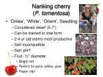 nanking cherry p tomentosa