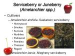 serviceberry or juneberry amelanchier spp