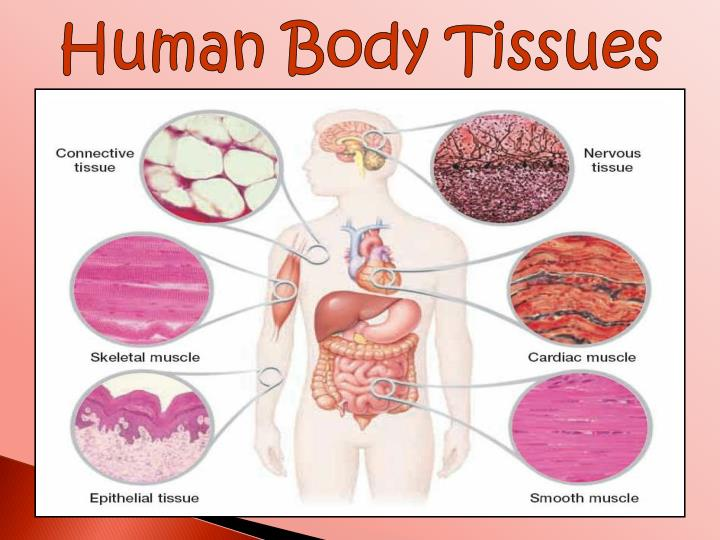 Ppt - Tissues Of The Body Powerpoint Presentation