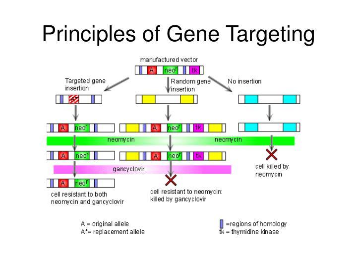 Principles of gene targeting