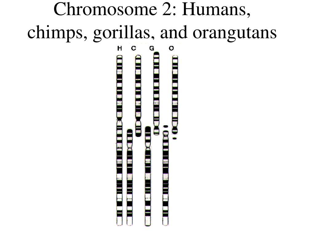 Chromosome 2: Humans, chimps, gorillas, and orangutans