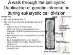 a walk through the cell cycle duplication of genetic information during eukaryotic cell division