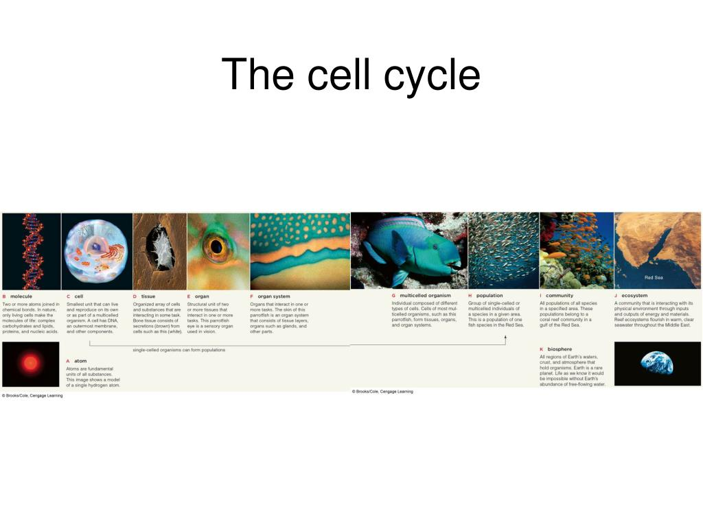 the cell cycle l.