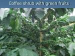 coffee shrub with green fruits