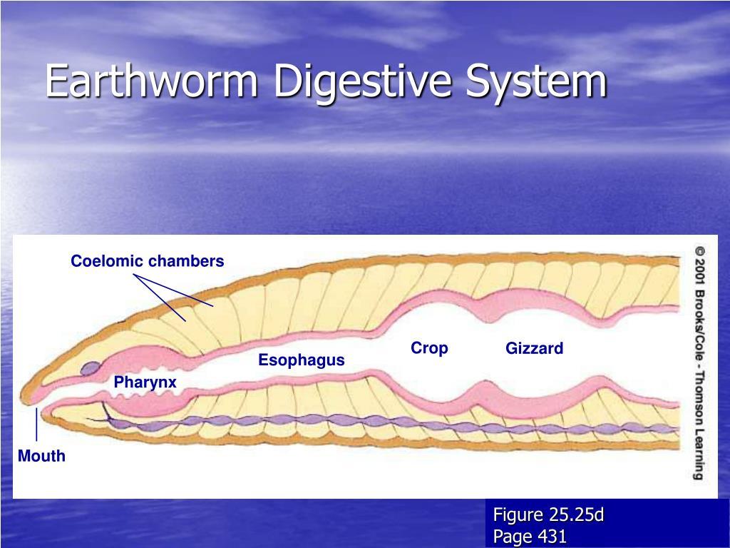 coelomic fuid of earthworm effects