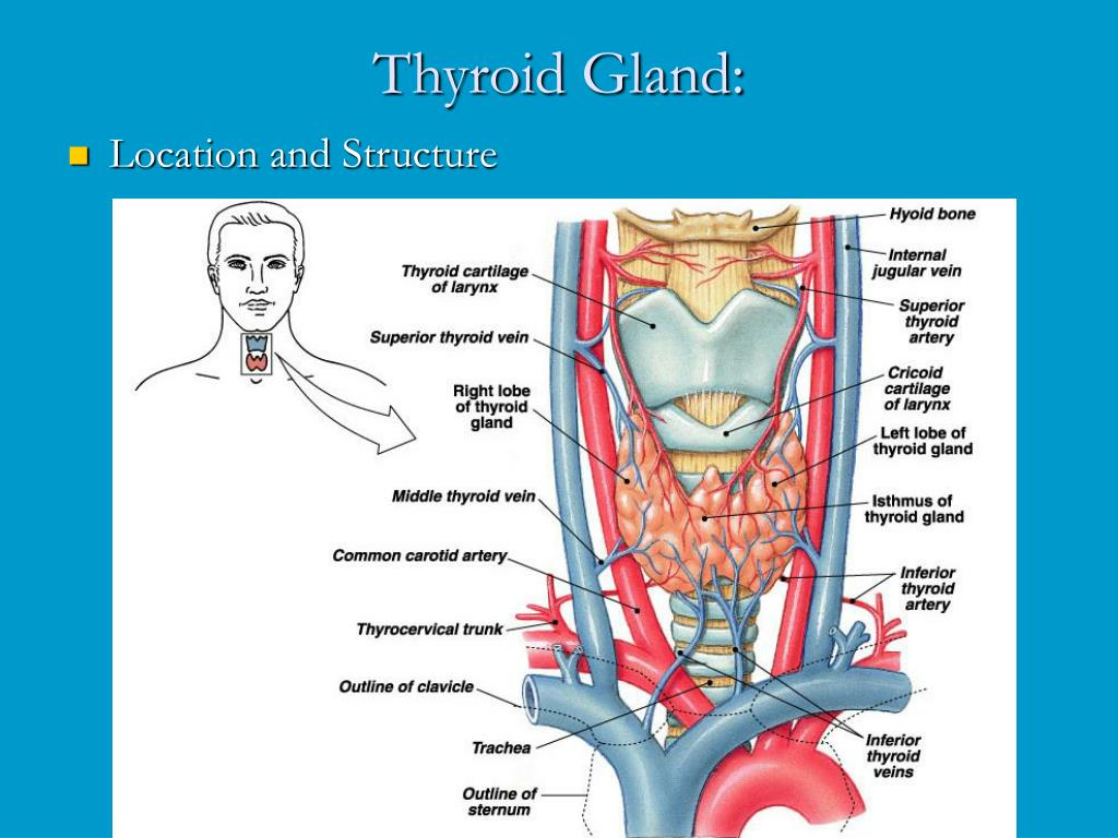 Ppt Thyroid Gland Powerpoint Presentation Free Download Id