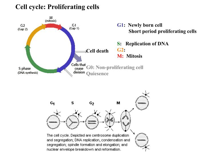Cell cycle: Proliferating cells