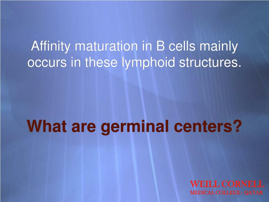 Affinity maturation in B cells mainly occurs in these lymphoid structures.