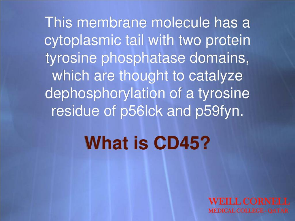 This membrane molecule has a cytoplasmic tail with two protein tyrosine phosphatase domains, which are thought to catalyze dephosphorylation of a tyrosine residue of p56lck and p59fyn.