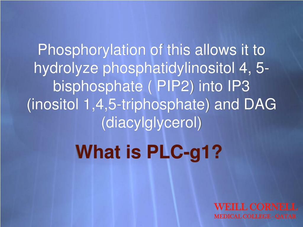 Phosphorylation of this allows it to hydrolyze phosphatidylinositol 4, 5- bisphosphate ( PIP2) into IP3 (inositol 1,4,5-triphosphate) and DAG (diacylglycerol)