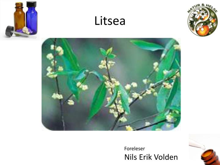 Litsea