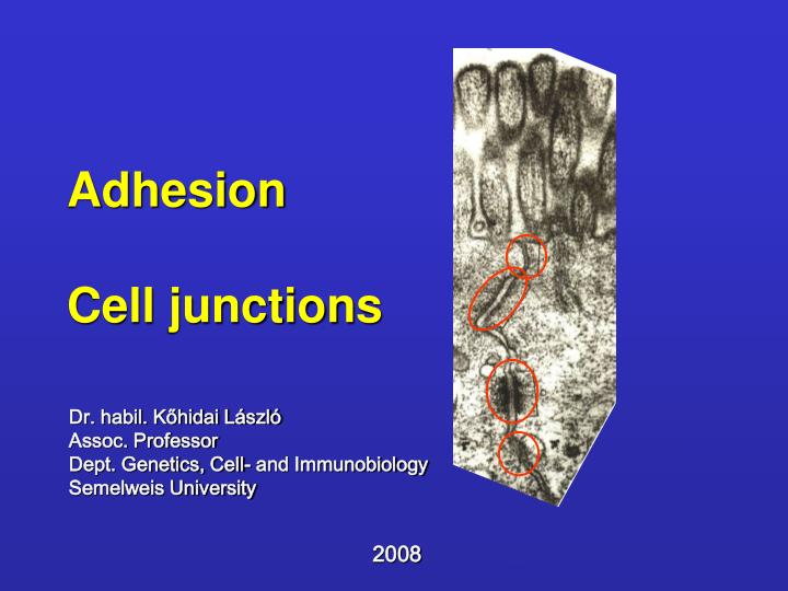 adhesion cell junctions n.