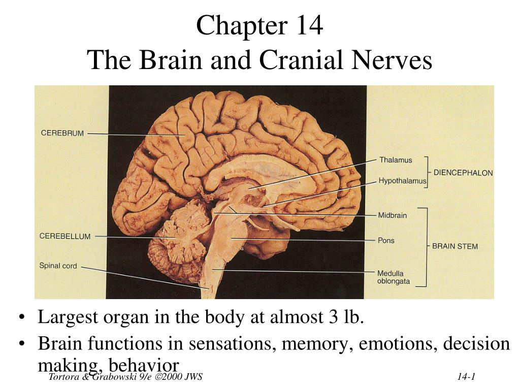 PPT - Chapter 14 The Brain and Cranial Nerves PowerPoint ...